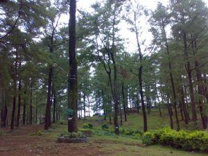 Pinus Malino